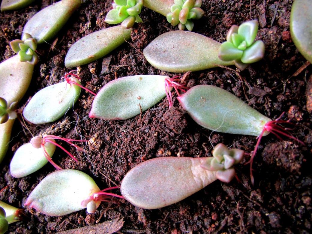 suculentas-como-cuidar-delas cultivo de suculentas criandoumavidasemfrescura.com