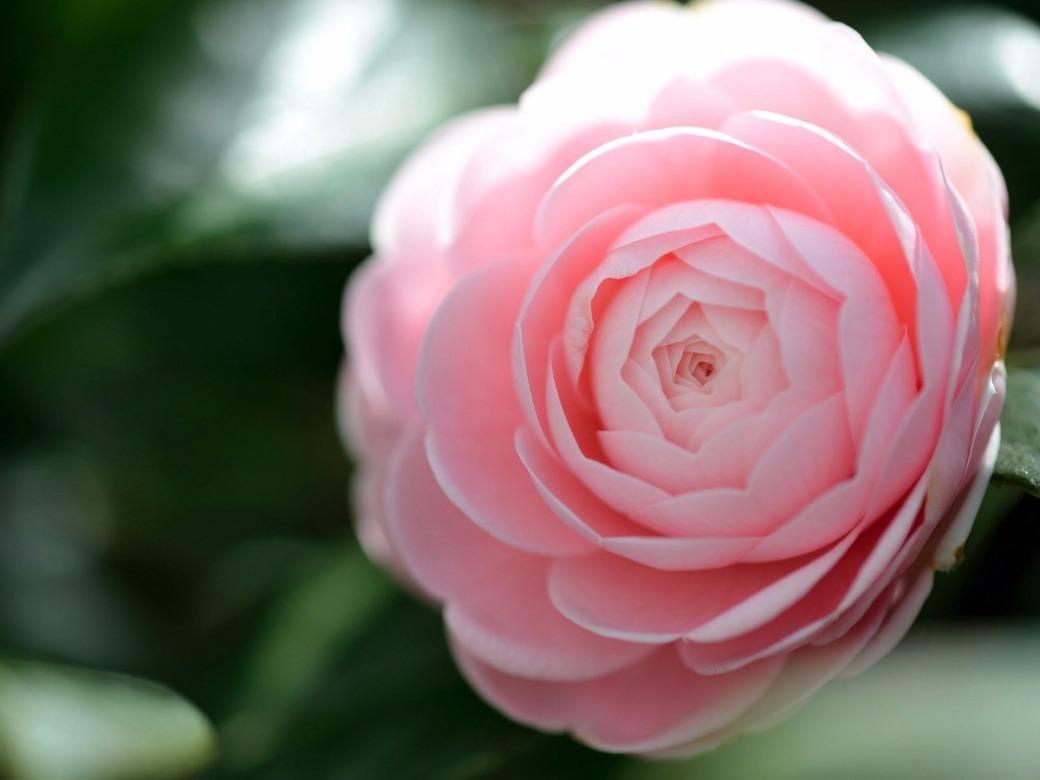 sementes-camellia-japonica-camelia-flores-gigante-rosa-mudas-D_NQ_NP_184901-MLB20436593431_102015-F