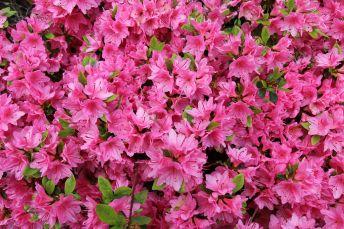 azaleia-flores-inverno