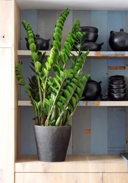 Zamioculcas-sao-plantas-para-colocar-dentro-de-casa-e-que-nao-precisam-de-muita-agua